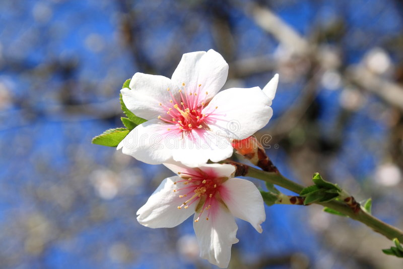 Das Blühen ist frühlingshaft. stockfotografie