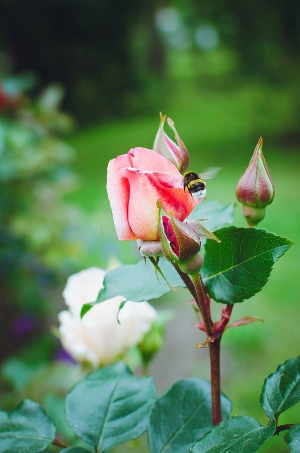 Das Blühen stieg in den Garten, vertikales Foto lizenzfreies stockbild