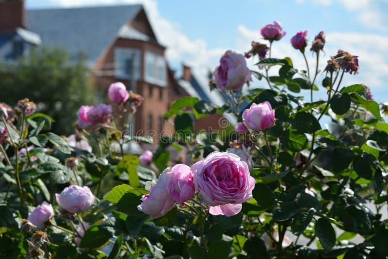 Das Blühen stieg Strauch im Landgarten Rosa Blumen auf dem Hintergrund des Hauses lizenzfreie stockfotografie