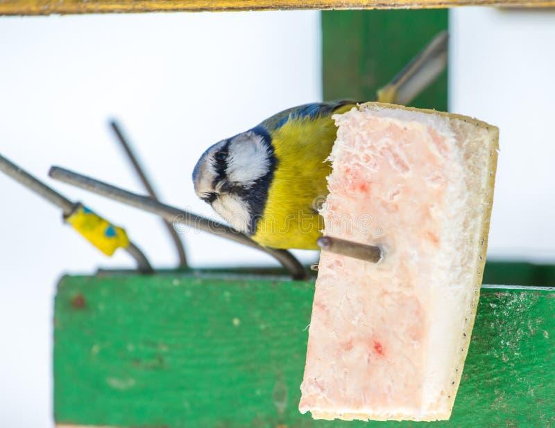 Das Blaumeise Cyanistes-caeruleus auf einer Vogeltabelle stockfotografie