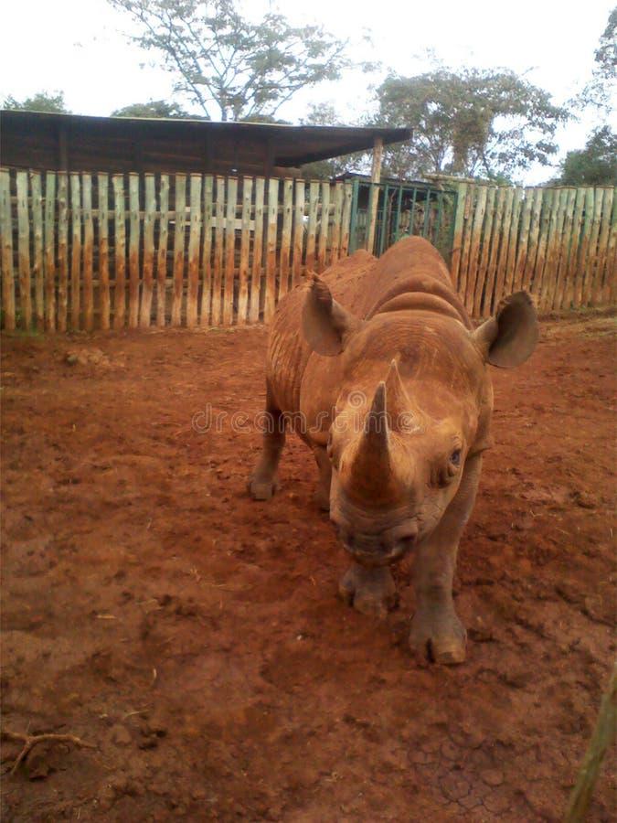 Das blinde Nashorn stockbilder