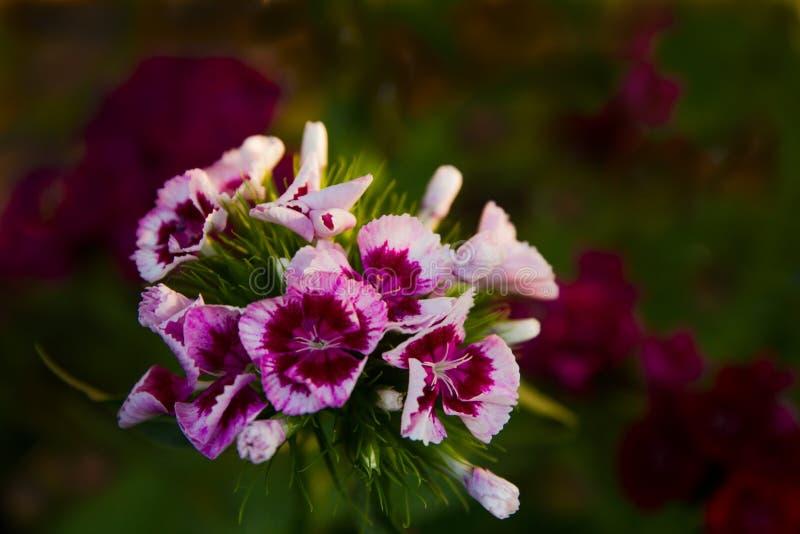 Das Blumengartennelke Türkische stockfoto