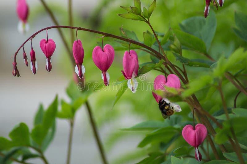 Das blutende Herz ist die Blume lizenzfreies stockbild