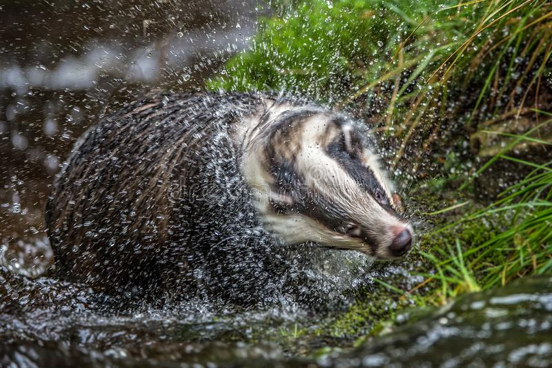 Das in bos, dier in aardhabitat, Duitsland, Europa Wilde Das, Meles meles, dier in het hout Zoogdier in milieu, stock foto