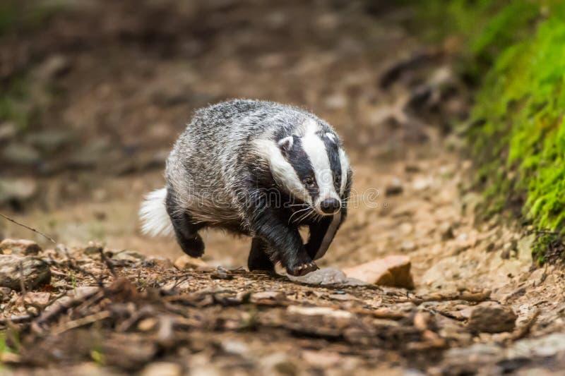 Das in bos, dier in aardhabitat, Duitsland, Europa Wilde Das, Meles meles, dier in het hout Zoogdier in milieu, stock foto's