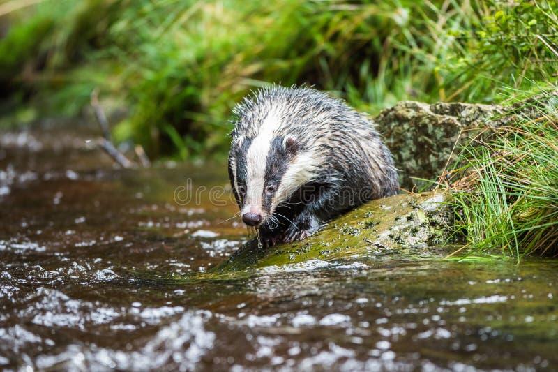 Das in bos, dier in aardhabitat, Duitsland, Europa Wilde Das, Meles meles, dier in het hout Zoogdier in milieu, stock afbeelding