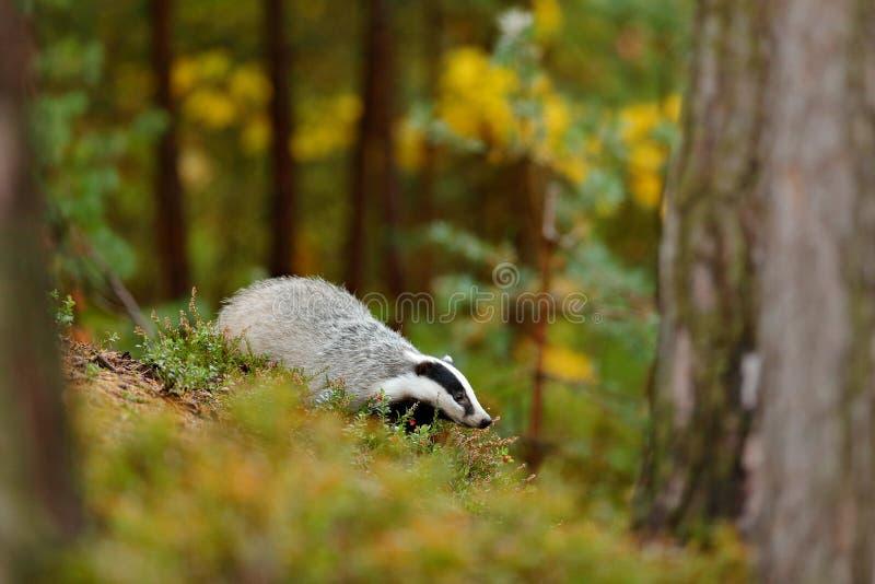 Das in bos, dierlijke aardhabitat, Duitsland, Europa Wildli stock afbeeldingen