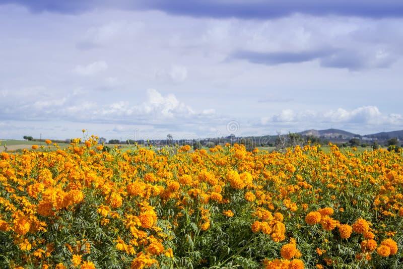 das Cempasuchil-Blumenfeld Mexikanische Blume typisch vom Tag der Toten lizenzfreie stockfotografie