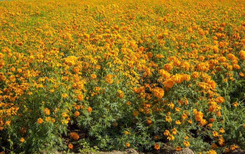 das Cempasuchil-Blumenfeld Mexikanische Blume typisch vom Tag der Toten lizenzfreie stockbilder