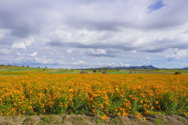 das Cempasuchil-Blumenfeld Mexikanische Blume typisch vom Tag der Toten lizenzfreie stockfotos