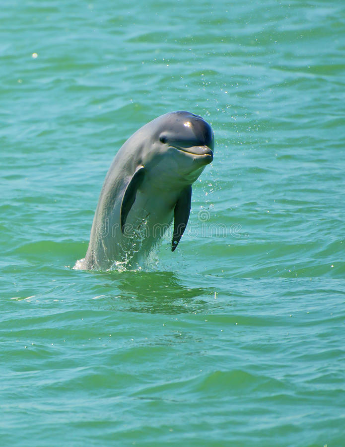 Das Delphin-Springen lizenzfreies stockbild