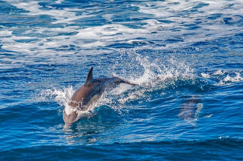 Das Delphinspringen lizenzfreie stockbilder