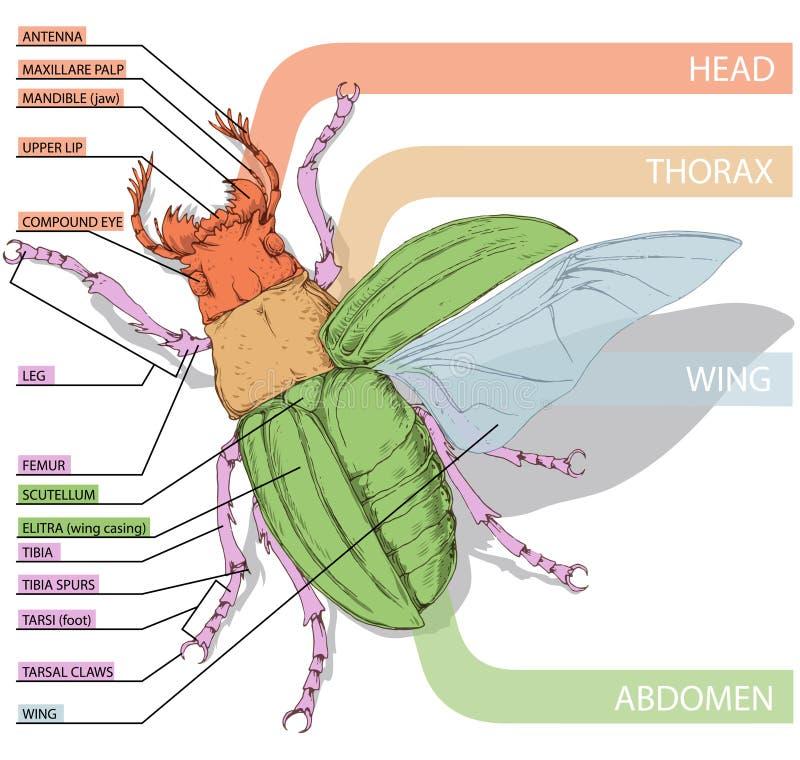 Das Diagramm Des Käfers Referenten Realistisches Vektor Illustrati ...
