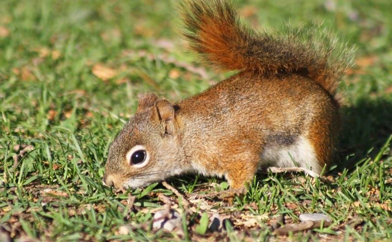 Das EICHHÖRNCHEN, das durch das Gras sucht nach Lebensmittel sucht stockbild