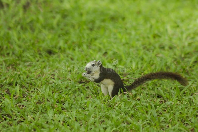 Das Eichhörnchen ist auf dem Rasen im Park stockfotografie