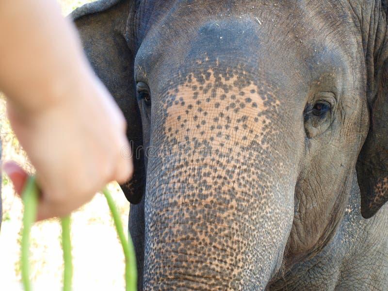 Das elephan hungrig im Zoo lizenzfreie stockfotos