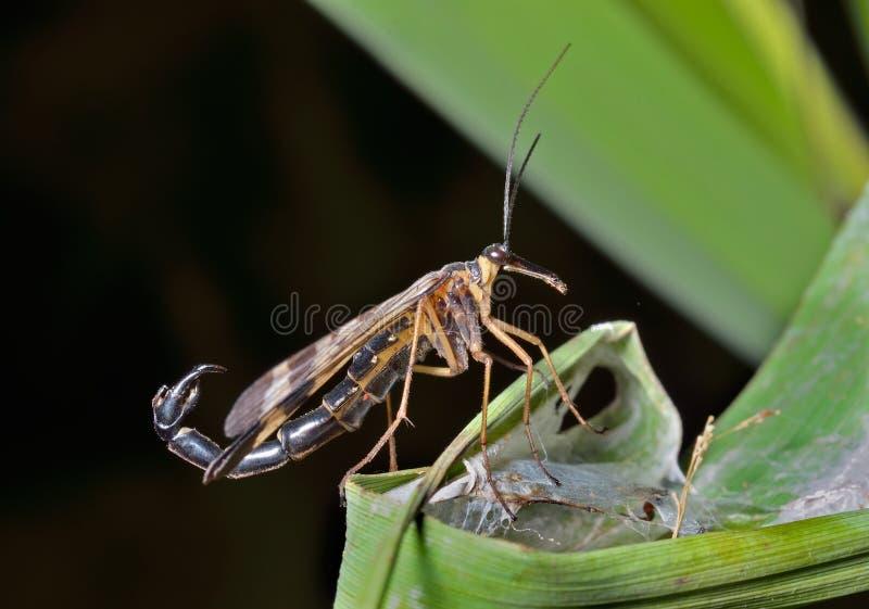 Das Endstück 6 des Insekten-Skorpions stockbild