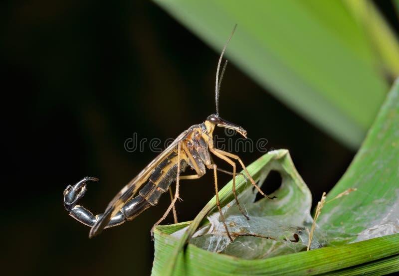 Das Endstück 5 des Insekten-Skorpions stockfotos