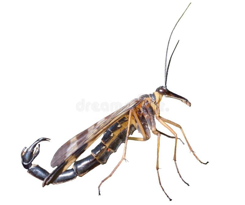 Das Endstück 12 des Insekten-Skorpions lizenzfreies stockfoto