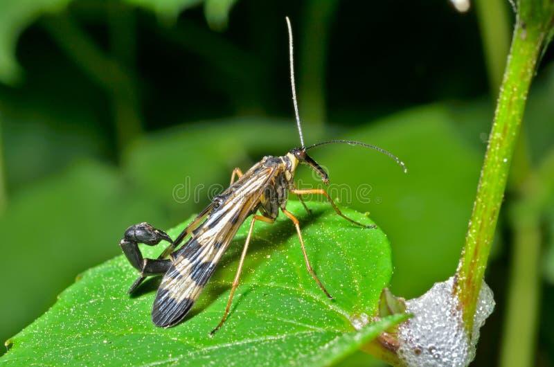 Das Endstück 12 des Insekten-Skorpions stockfoto