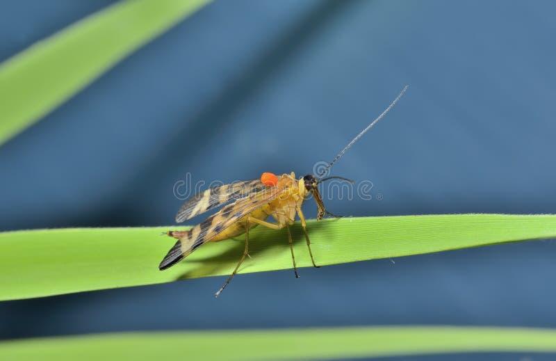 Das Endstück Panorpa communis 6 des Insekten-Skorpions lizenzfreies stockbild
