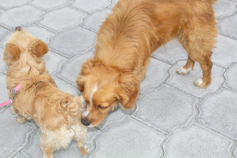 Das erste Treffen von Hunden, Spaniel schnüffelt die Rückseite des anderen Hundes zum ersten Mal lizenzfreie stockfotos