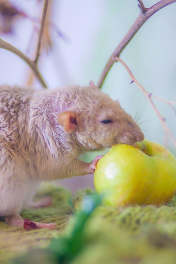 Das Essen der Ratte Beige M?usenagen Dekoratives Haustier stockbild