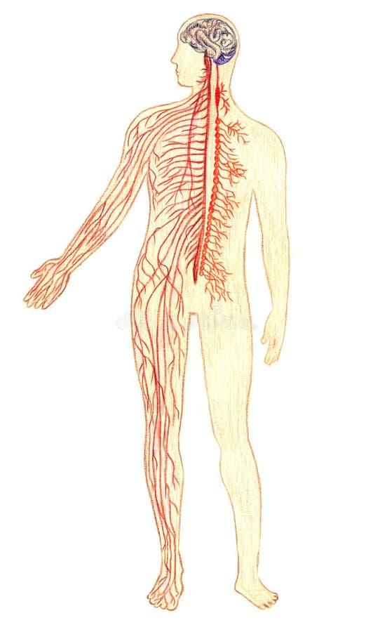 Das Farbschema des menschlichen Nervensystems lizenzfreie abbildung
