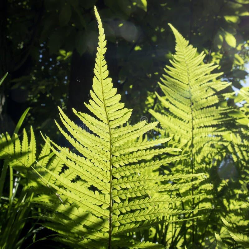 Das Farnblatt in der Hintergrundbeleuchtung im botanischen Garten von Warschau stockfoto