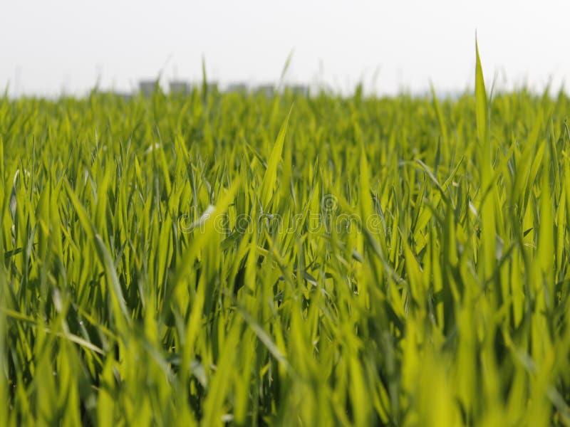 Das Feld der grünen Ernte mit weißem Hintergrund stockfotos