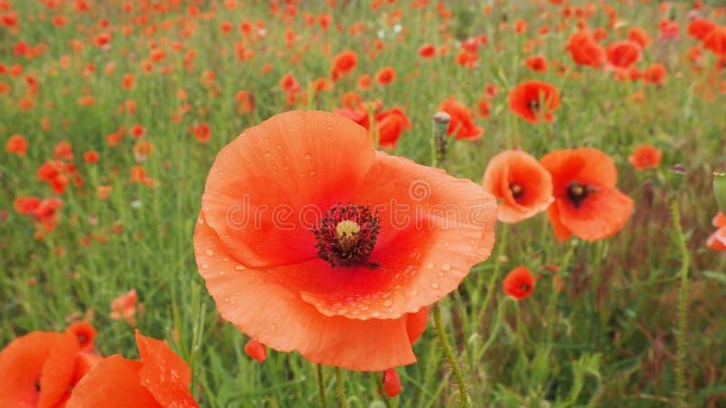Das Feld von empfindlichen Mohnblumen der roten Blumen in den Wassertröpfchen nach Regen lizenzfreie stockfotografie