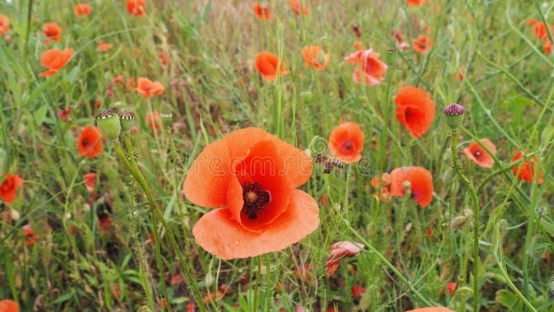 Das Feld von empfindlichen Mohnblumen der roten Blumen in den Wassertr?pfchen nach Regen stockfotografie