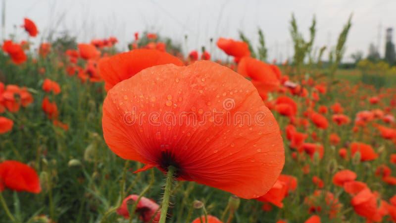 Das Feld von empfindlichen Mohnblumen der roten Blumen in den Wassertr?pfchen nach Regen lizenzfreie stockfotografie