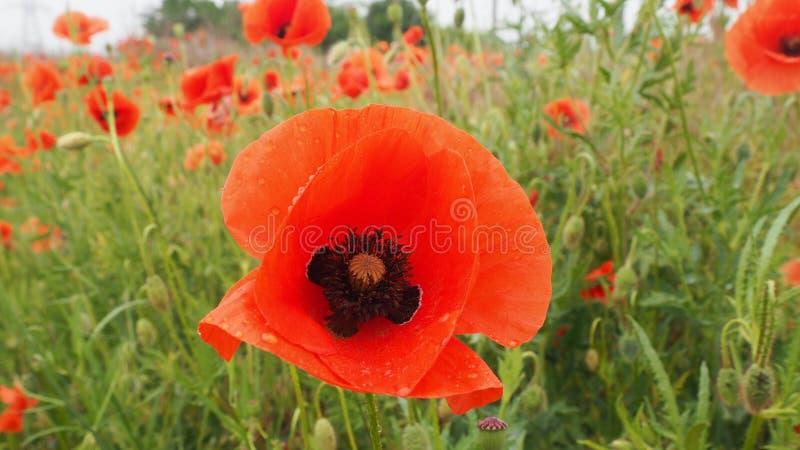 Das Feld von empfindlichen Mohnblumen der roten Blumen mit Biene lizenzfreie stockfotografie
