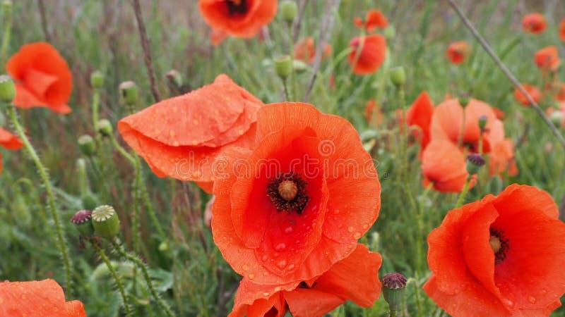 Das Feld von roten Mohnblumen lizenzfreie stockbilder