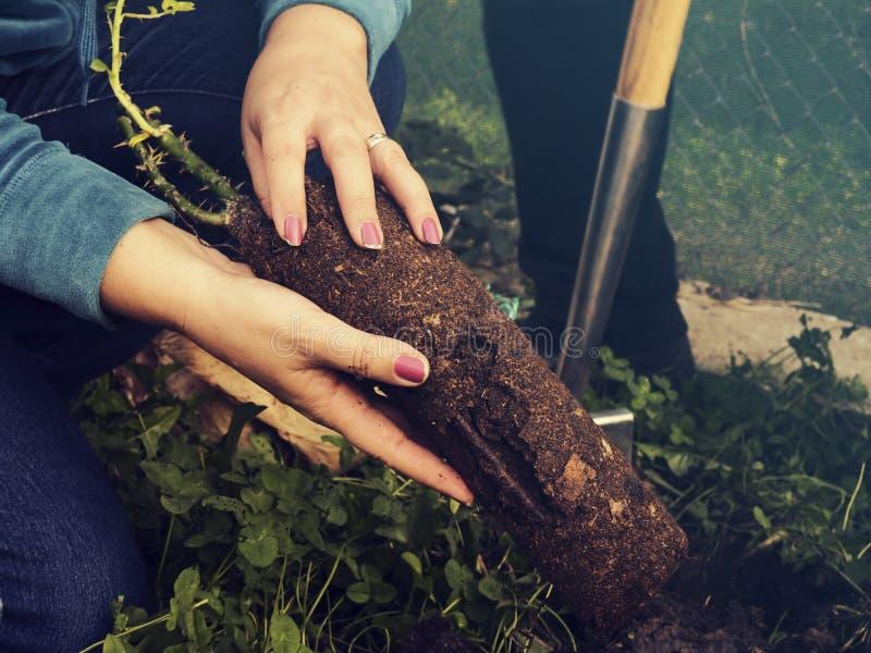 Das Frauenpflanzen stieg stockbilder