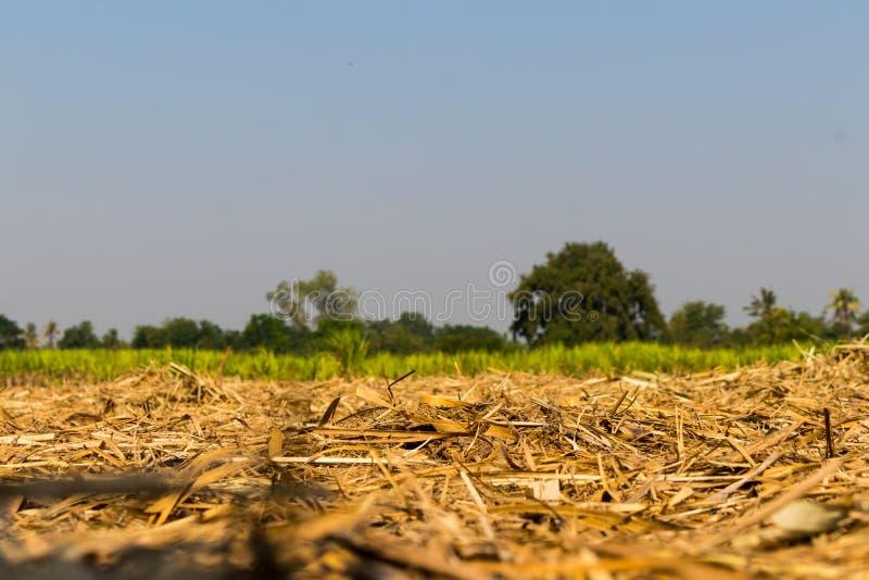Das geerntete Zuckerrohr mit dem wachsenden Zuckerrohranlagen-backdro stockbilder