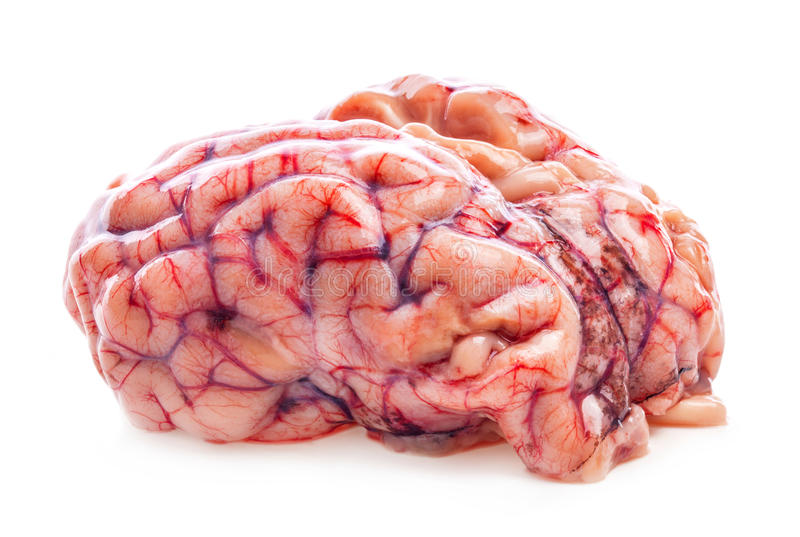 Das Gehirn des Schafs stockbilder