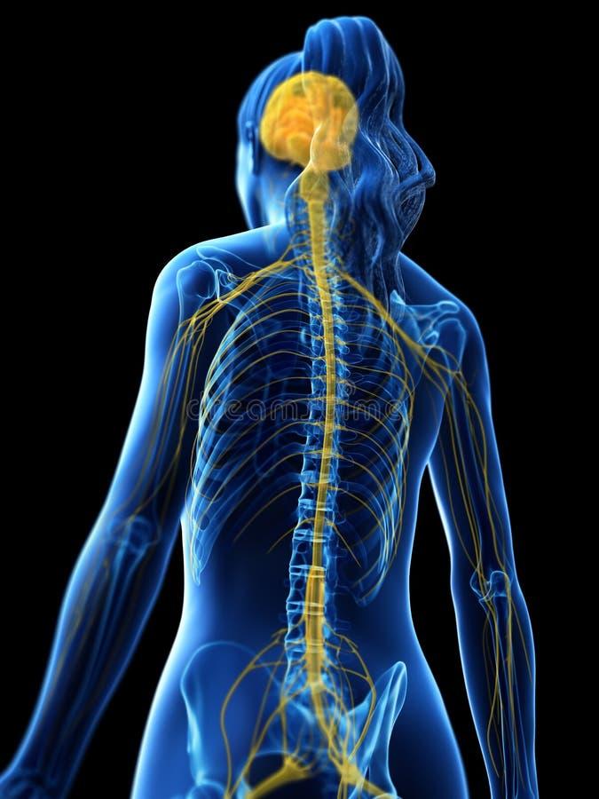 Das Gehirn und das Nervensystem einer Frau stock abbildung