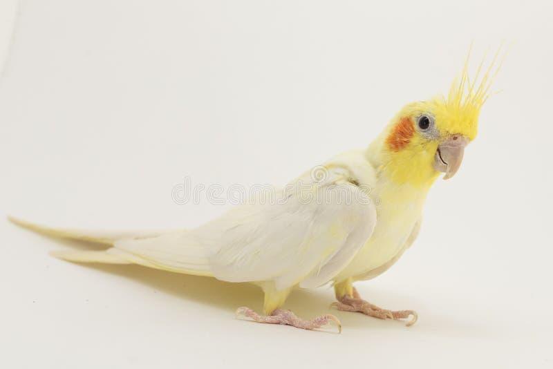Das gelb-und-weiße Corella-lutino, beim moulting, sitzt halfside und betrachtet bedacht etwas, gegen einen weißen Hintergrund stockbilder