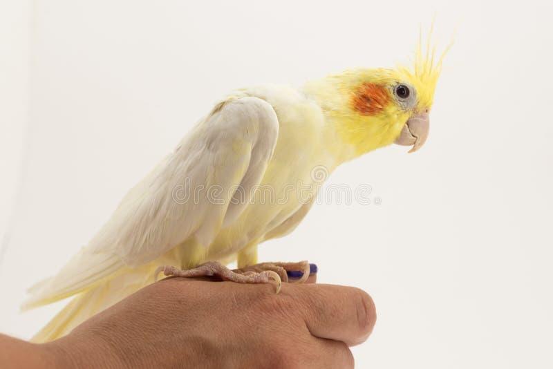 Das gelb-weiße Corella-lutino sitzt auf ihrem Arm und betrachtet bedacht etwas, gegen einen weißen Hintergrund stockfotografie