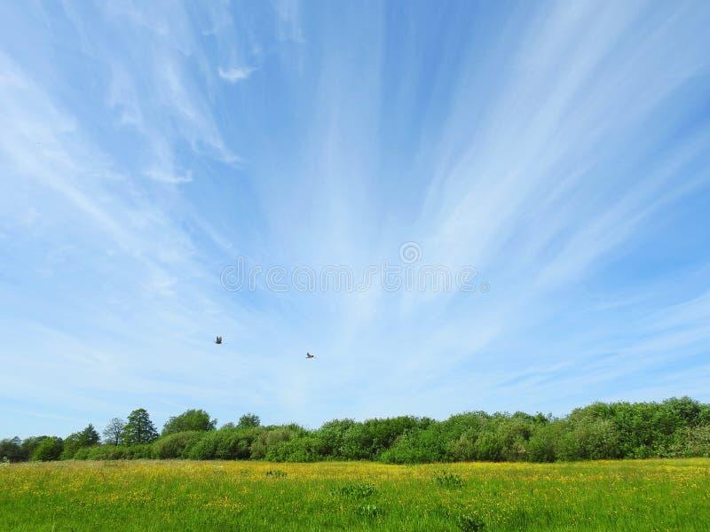 Das gelbe Blühen blüht auf dem Gebiet und schönem Himmel, Litauen lizenzfreies stockbild