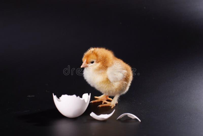 Das gelbe kleine Küken mit dem Ei lokalisiert auf einem schwarzen Hintergrund lizenzfreie stockbilder