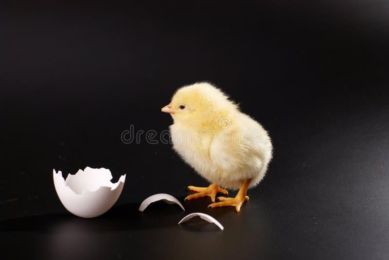 Das gelbe kleine Küken mit dem Ei lokalisiert auf einem schwarzen Hintergrund lizenzfreie stockfotografie