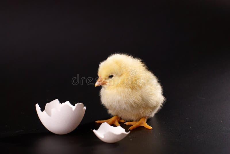 Das gelbe kleine Küken mit dem Ei lokalisiert auf einem schwarzen Hintergrund stockfotos