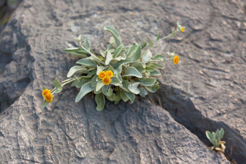 Das gelbe wilde Blumen-Wachsen in einem Felsen knacken stockfoto