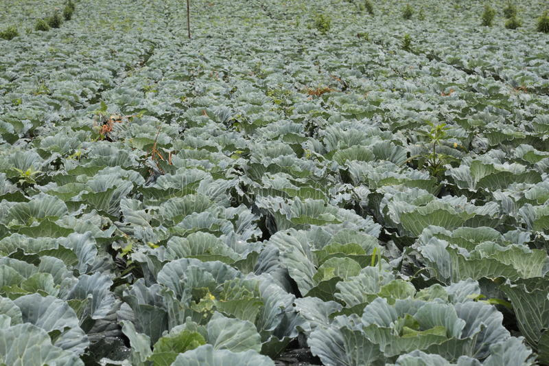 Das Gemüse ist gesund und ungiftig lizenzfreie stockbilder