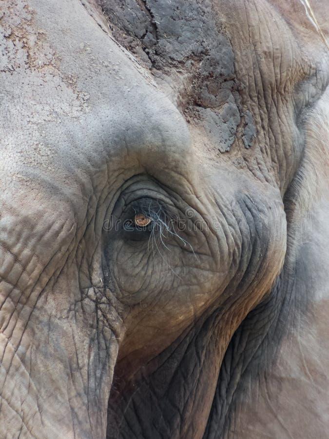 Das Gesicht des indischen Elefanten stockfotos