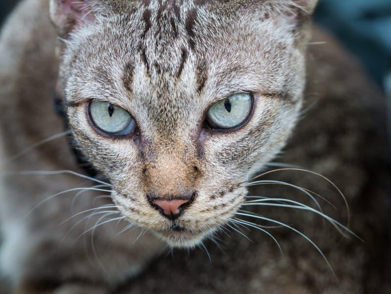 Das Gesicht von Tabby Cat lizenzfreies stockbild