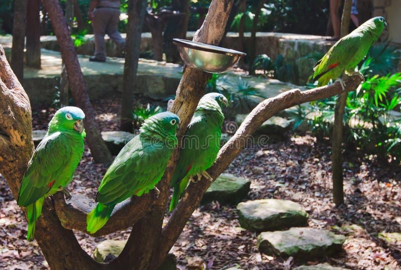 Das Grün plappert Keilschwanzsittiche in Xcaret-Park Mexiko nach lizenzfreies stockbild